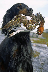 A Gordon setter with a grouse, Norway. Photo: Visitnorway.com
