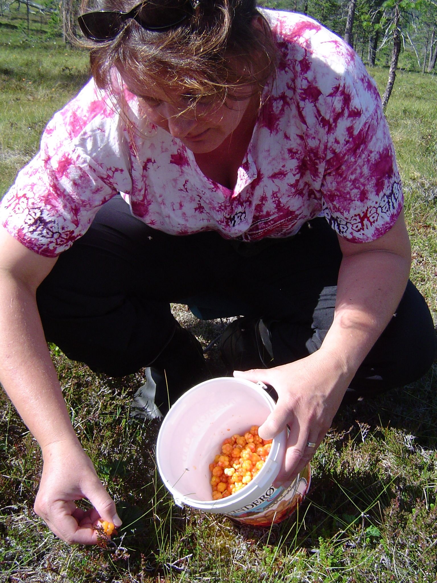 Heidi carefully picks ripe multe to store for the upcoming winter. Photo: Heidi Håvan Grosch