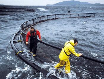Workers operating a Marine Harvest sea farm. Photo: Marine Harvest.