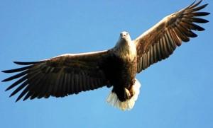 """Norwegian"" eagles are poisoned in Ireland. It provokes the Norwegian ambassador. This picture was taken in Lofoten. FOTO:SCANPIX AP"