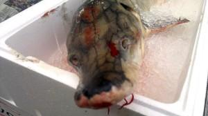 A rare European sturgeon was caught in Oslo fjord. Photo: Fjordfisk