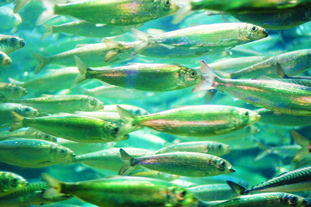 Photo: Jacob Bøtter / Flickr A school of herring, still decidedly unpickled.