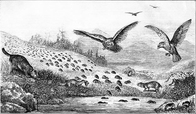 """Photo: Wikimedia Commons """"Lemmings in Migration,"""" illustration from Popular Science Monthly in 1877."""