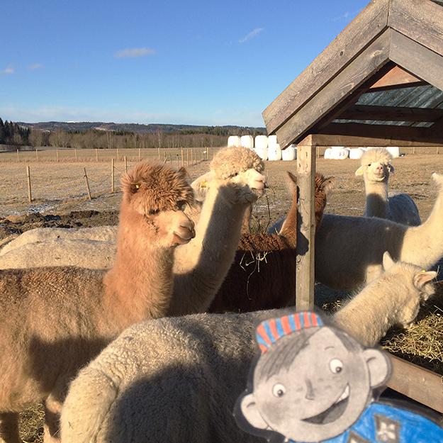 Photos: Heidi Håvan Grosch Flat Stanley meets some friendly alpacas.