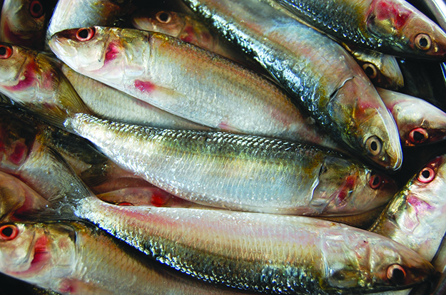 Photo: Nithin bolar k / Wikimedia Commons Like most fish, sardines are a terrific source of protein, vitamins, and omega 3 fatty acids. Unlike many more popular fish, due to their small size and diet consisting of plankton, sardines do not accumulate heavy metals in their bodies. There is also no fear of stock depletion any time soon. Combining sardines with horseradish, onion, and cream cheese reduces their sometimes overwhelming flavor to just one note in this easy appetizer.