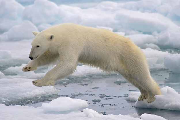 Photo: Arturo de Frias Marques / Wikimedia Commons A polar bear jumps on fast-moving ice.
