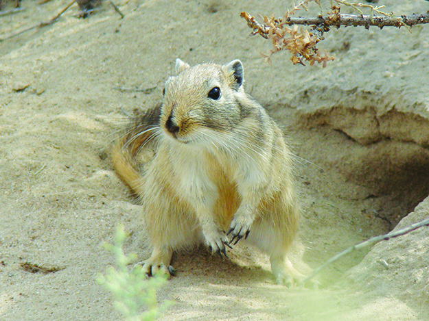 Photo: Yuriy75 / Wikimedia Commons The Giant Gerbil of Kazakhstan is the species now believed to be the plague-carrier.