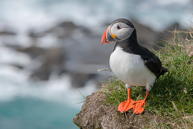 Photo: Richard Bartz / Wikimedia Commons A puffin in Iceland.