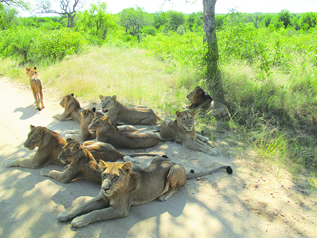 Photo: Thor A. Larsen Lounging lions in Kruger National Park.
