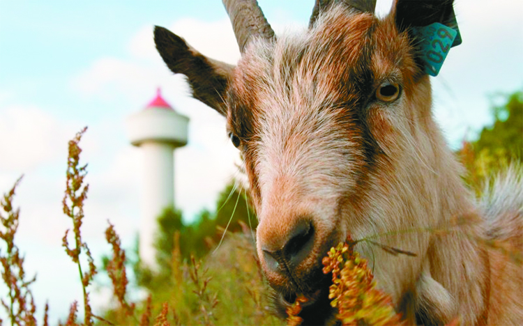 Photo: Sølvi Hopland Aemmer One of the area's less wild inhabitants. Now that the lighthouse is occupied again, goats and other animals enliven the area.