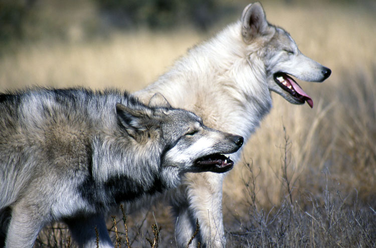 Two Grey Wolves. Photo: Caninest / Flickr