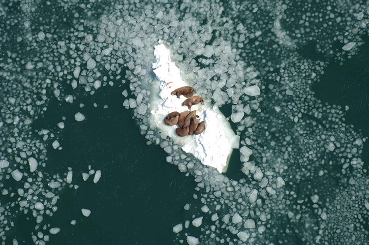 Photo: Public domain,  Without sea ice to rest on, walruses hunting in the Arctic will die of exhaustion.