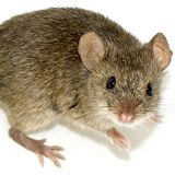 Photo: George Shuklin / Wikimedia Commons No, not this kind of mouse.