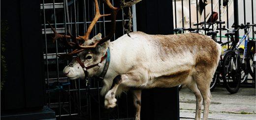 A reindeer in Tromsø