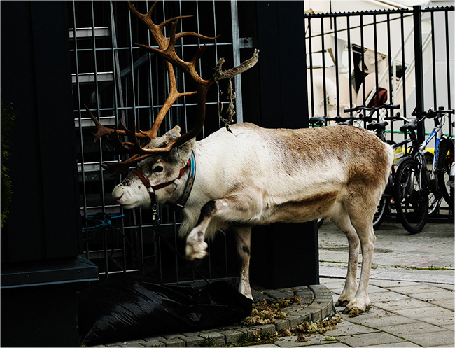 Anthropology and ecology: a reindeer in Tromsø