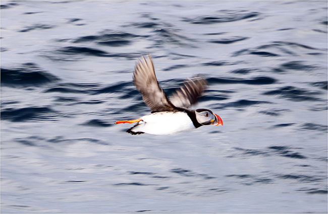 Arctic tourism - puffin